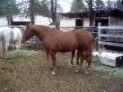 Chestnut 1/2 QH filly