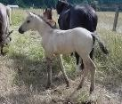 1/2 QH grulla filly